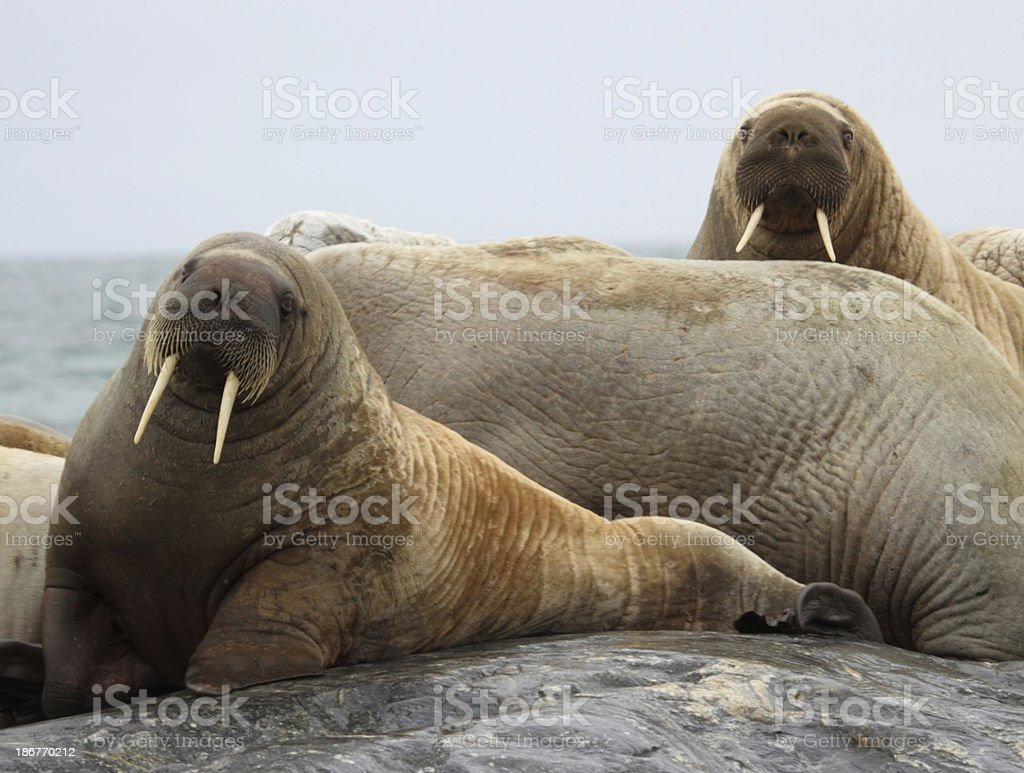 Arctic Walrus Svalbard Norway Stock Photo & More Pictures of Animal ...