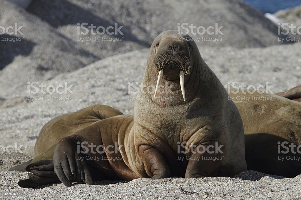 Arctic Walrus Svalbard Norway stock photo
