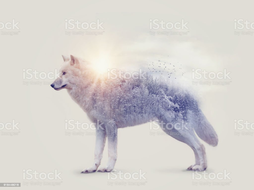 Arctic wolf and forest stock photo