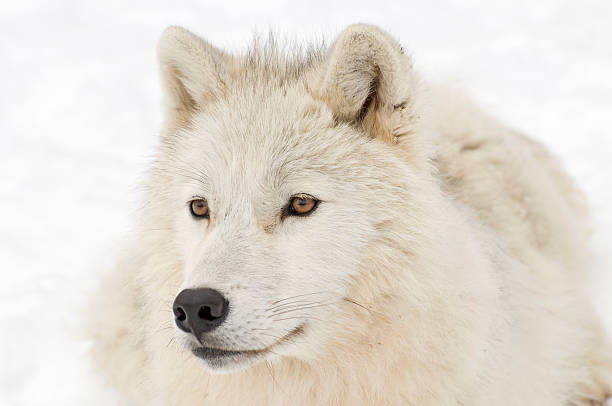 Arctic wolf at Rest stock photo