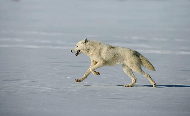 Arctic wolf, Canis lupus arctos stock photo