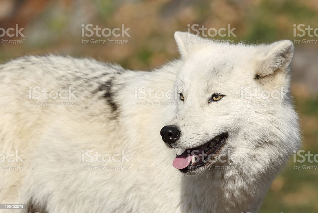 arctic wolf during autumn royalty-free stock photo