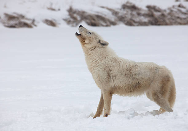 Arctic wolf howling stock photo