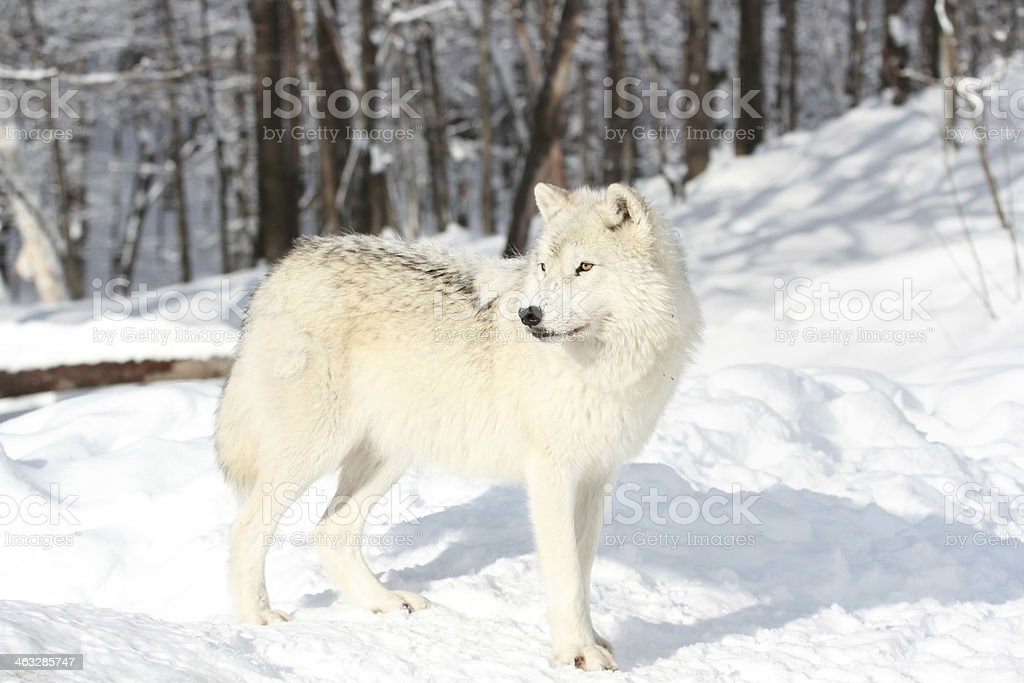 arctic wolf in snow stock photo