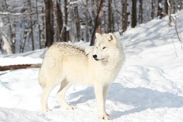 arctic wolf in snow stock photo