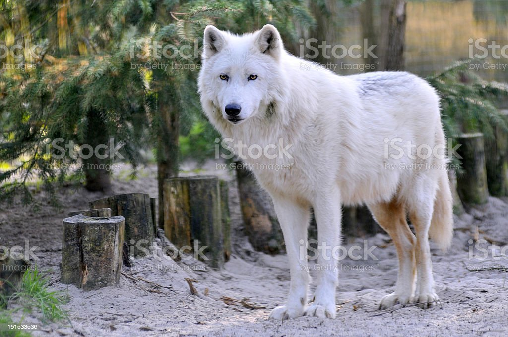 Arctic Wolf in the forest stock photo