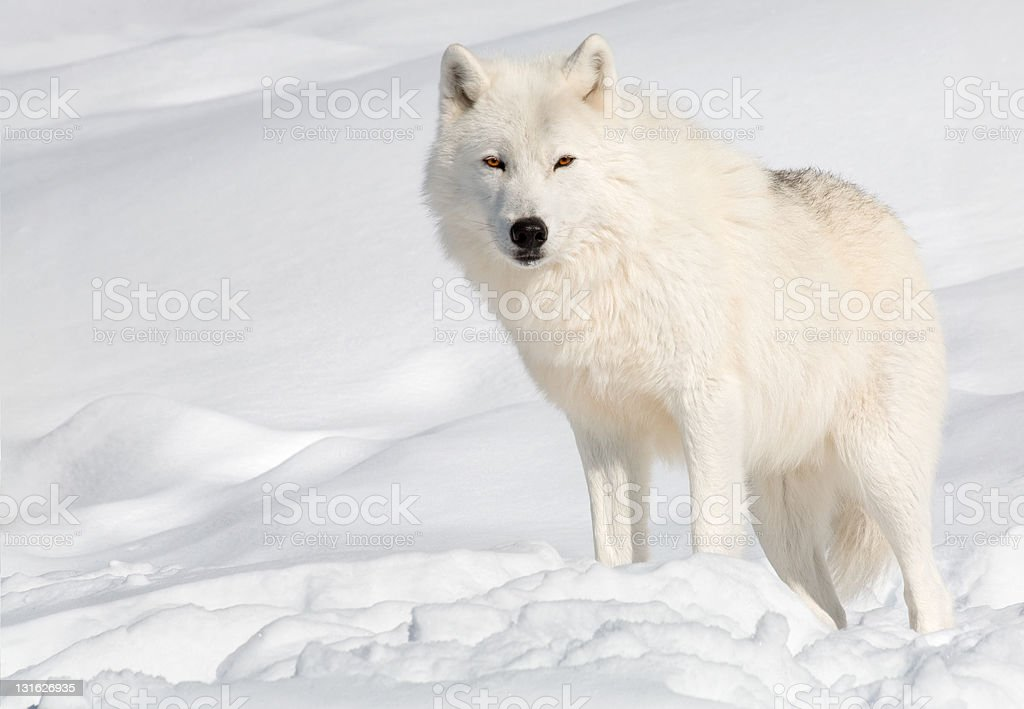 Arctic Wolf in the Snow Looking at  Camera stock photo