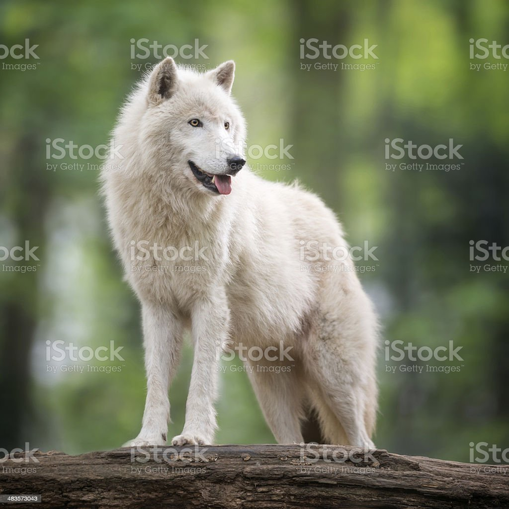 Arctic Wolf in Wildlife stock photo