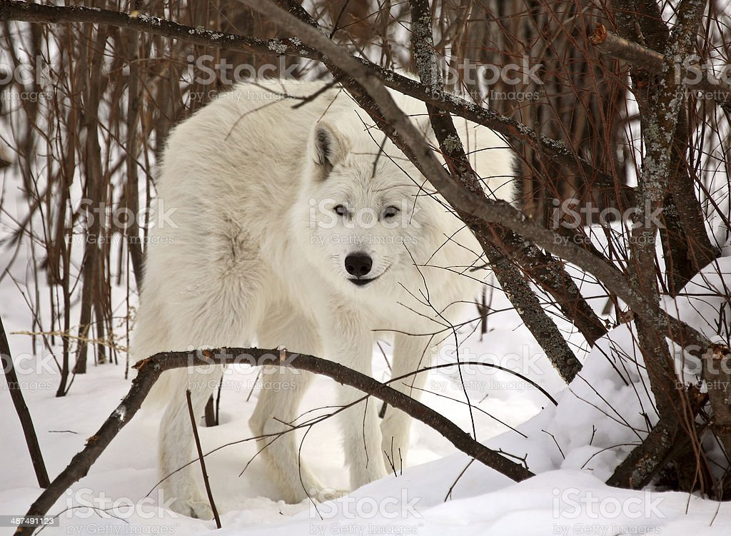 Arctic Wolf in winter stock photo