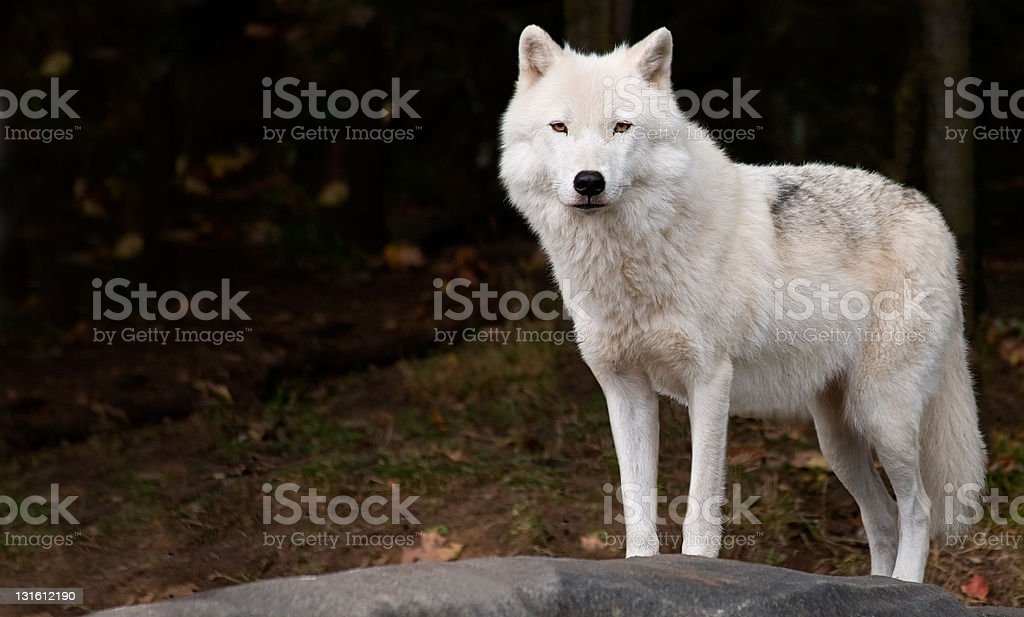 Arctic Wolf Looking at the Camera stock photo