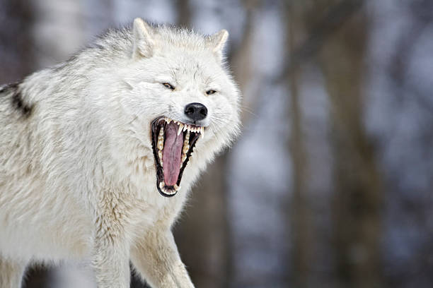 Arctic Wolf Mouth stock photo