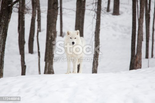 white arctic wolf on a snowy, winter day in a wood