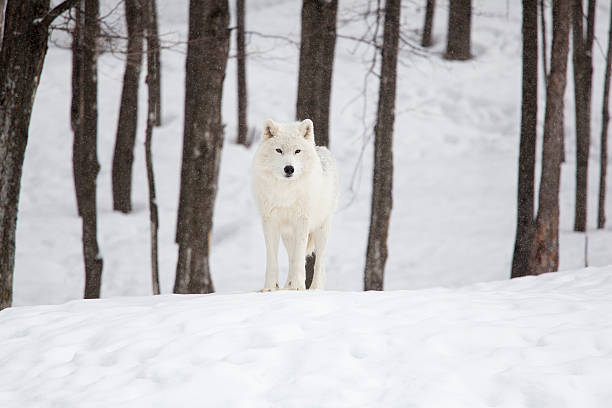 arctic wolf on a winter day stock photo