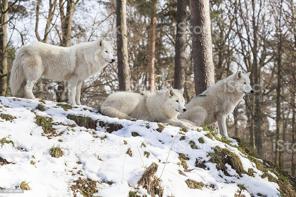 watchful arctic wolf pack of three animals on a hill in winter...