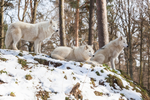 istock arctic wolf pack on a hill in winter 474674865