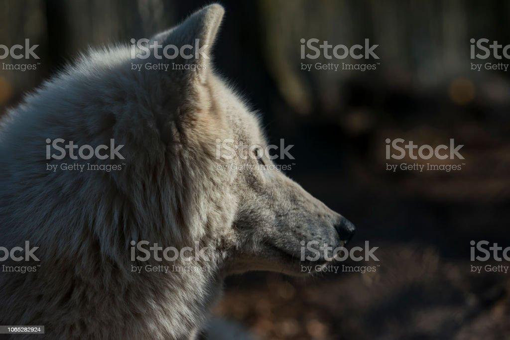 Polarwolf (weißer Wolf, Canis Lupus Arctos) – Foto