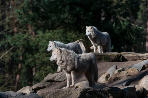 Arctic wolf (white wolf, canis lupus arctos) stock photo