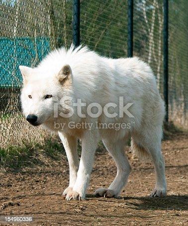 istock Arctic Wolf 154960336