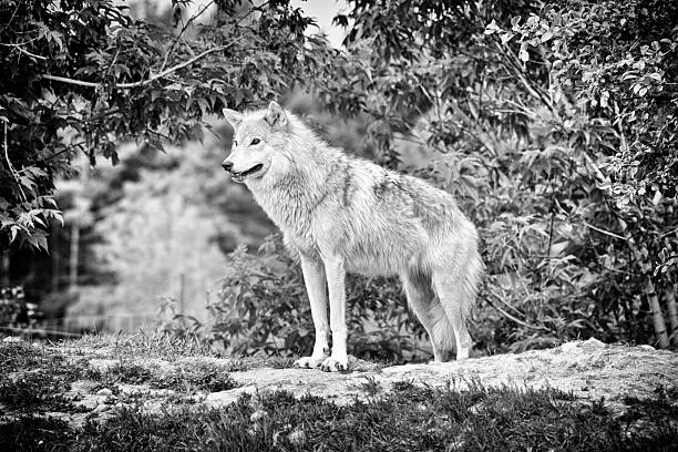 300 Black And White Wolf Stock Photos Pictures Royalty Free Images Istock