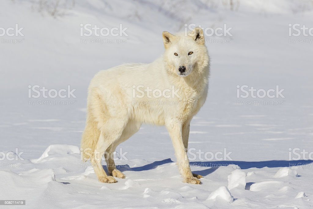 Arctic Wolf stock photo