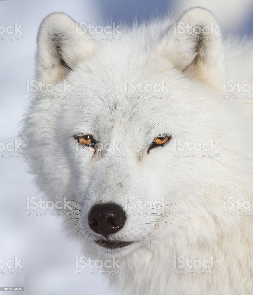 Arctic wolf portrait stock photo