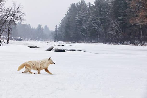 Arctic wolf profile stock photo