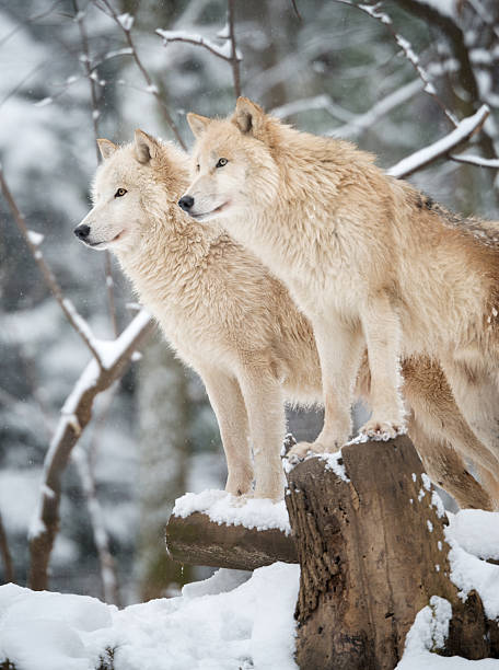 arctic wolves pack in wildlife, winter forest - gråvarg bildbanksfoton och bilder