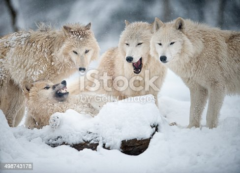 Extremely rare shot of an Arctic Wolf Pack in Wildlife. The cubs submit abjectly to the pack leader the alpha male through licking. Shot in the middle of a snowstorm. Nikon D800e + 400mm. Converted from RAW.