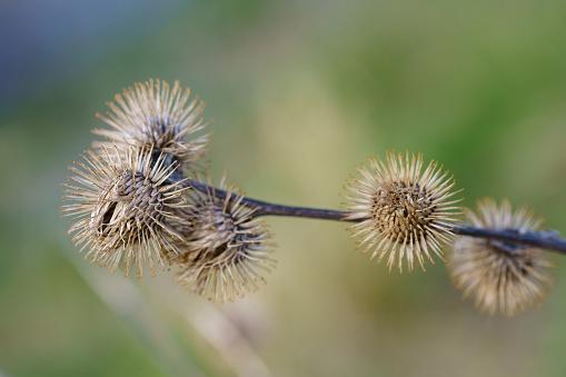 Arctium minus, lesser burdock dried flowers in the springtime. Close up.
