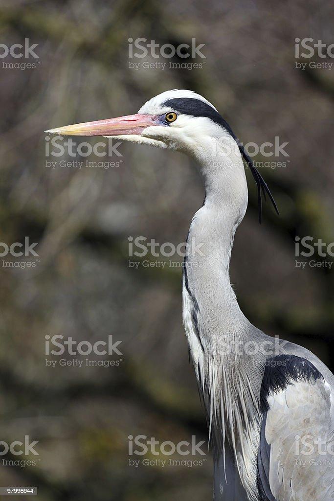 Ardea cinerea, Grey Heron royalty-free stock photo