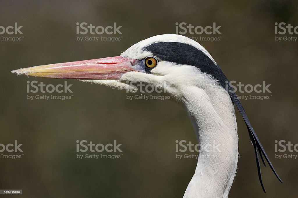 Ardea cinerea, Grey Heron royalty-free stock photo