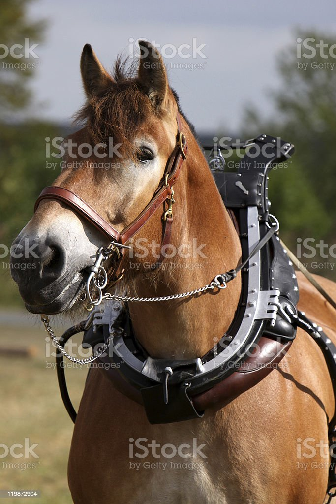 Ardenner horse stock photo