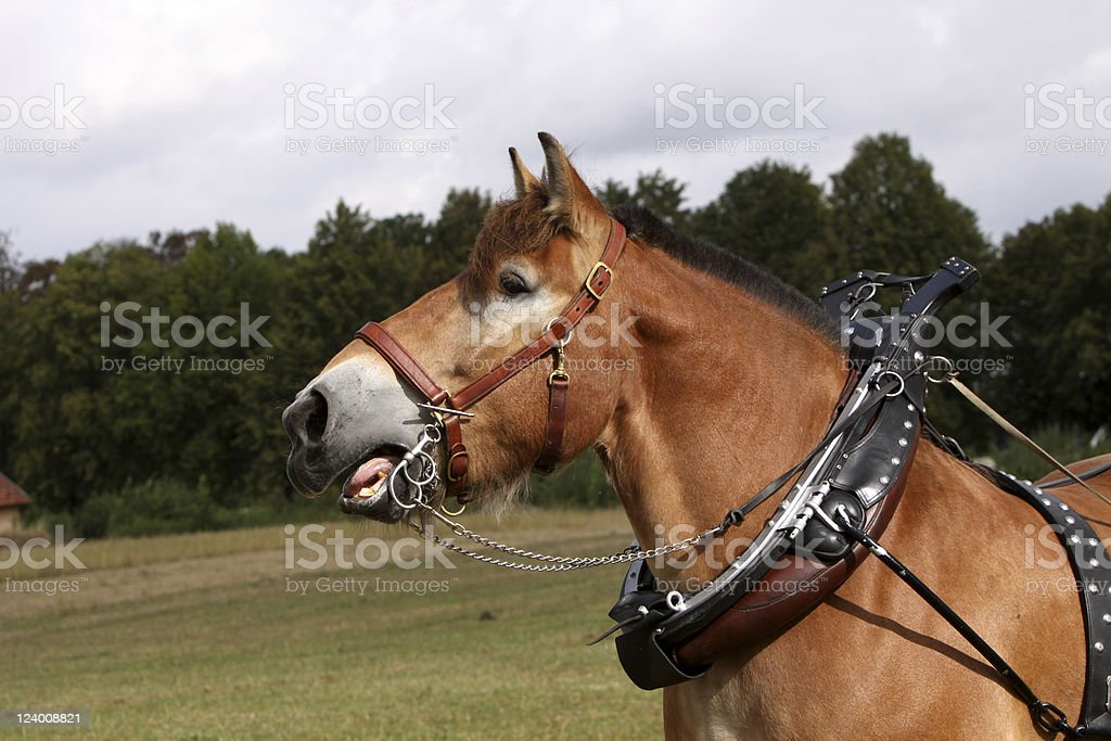 Ardennes horse stock photo