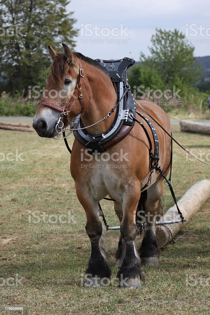 Ardennes horse pulling a tree trunk stock photo