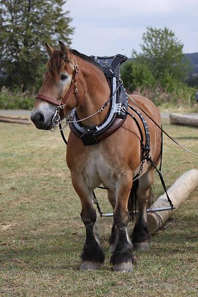 Ardennen horse ziehen einem Stamm – Foto
