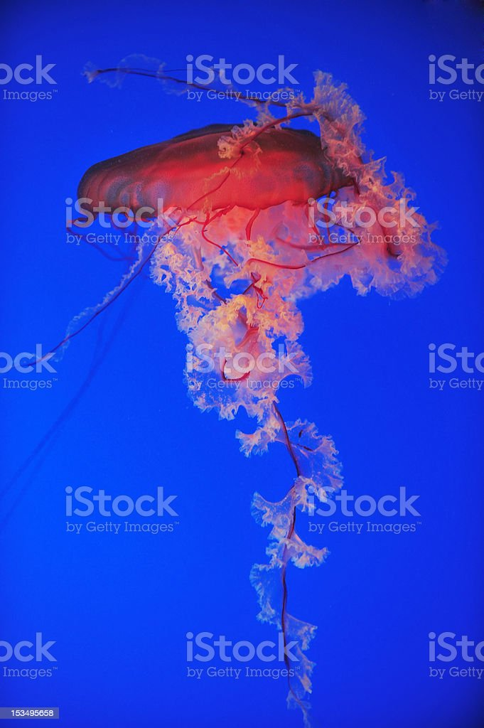 Are dancing jellyfish in the sea royalty-free stock photo