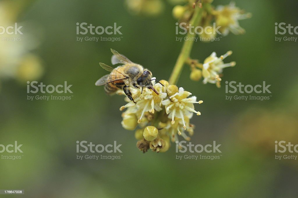 Are honey bees stock photo