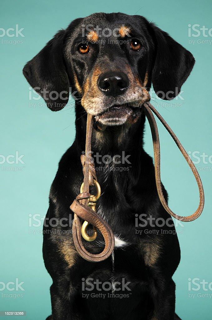 are we going for a walk? Dog posing with a leash. wondering if he could go for a walk. Animal Stock Photo