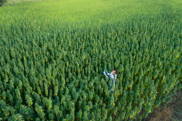 areal shoot of scientist with magnifying glass observing cbd hemp plants on marijuana field - пенька стоковые фото и изображения