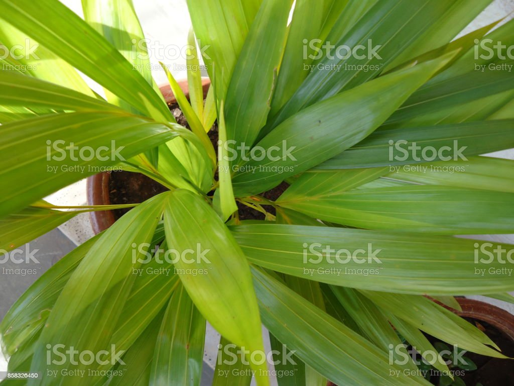 Areca palm, bamboo palm, golden fruited palm, golden cane palm, golden feather palm, madagascar palm, pinang kuning, yellow palm or butterfly palm stock photo