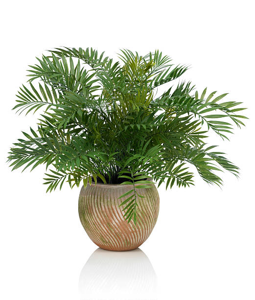Areca Palm in a Clay Pot on a white background stock photo
