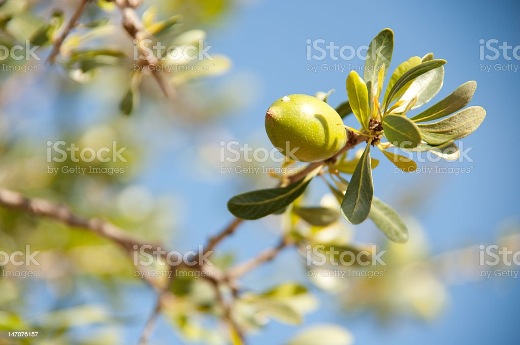 Argan fruit on a tree branch with leaves stock photo