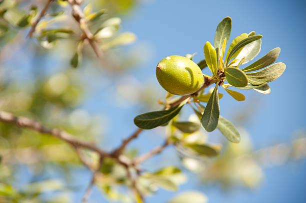 Argan fruit on a tree branch with leaves stok fotoğrafı