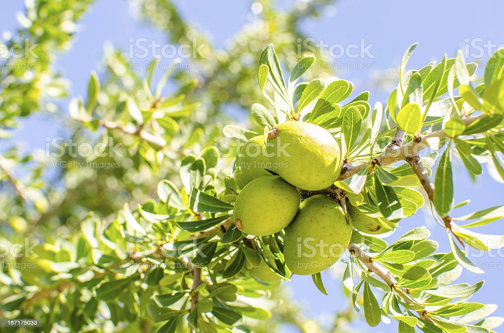 Argan fruit on tree stock photo