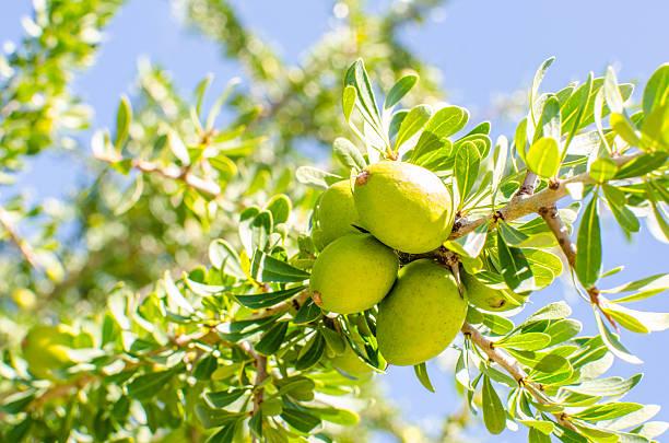 Argan fruit on tree stok fotoğrafı