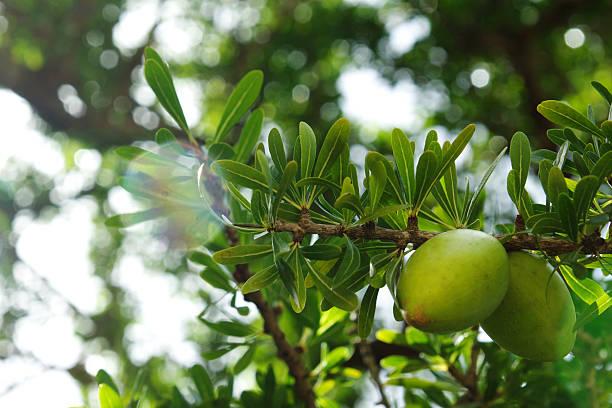 argan fruit stok fotoğrafı