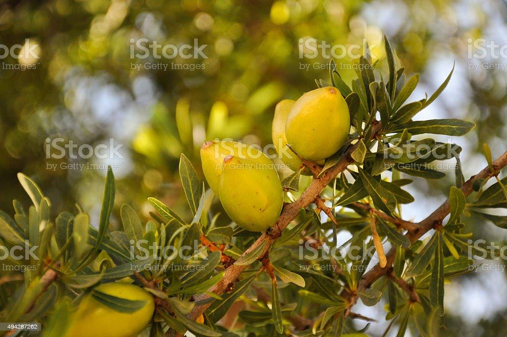 Argan fruits on a branch - Agadir, Morocco stok fotoğrafı