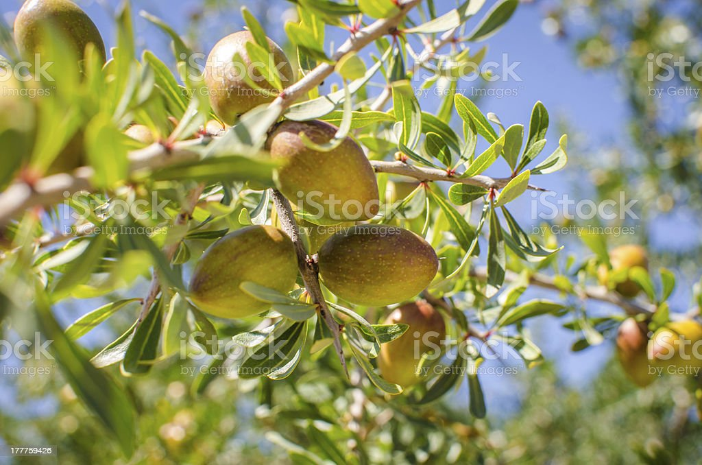 Argan fruits on tree stock photo