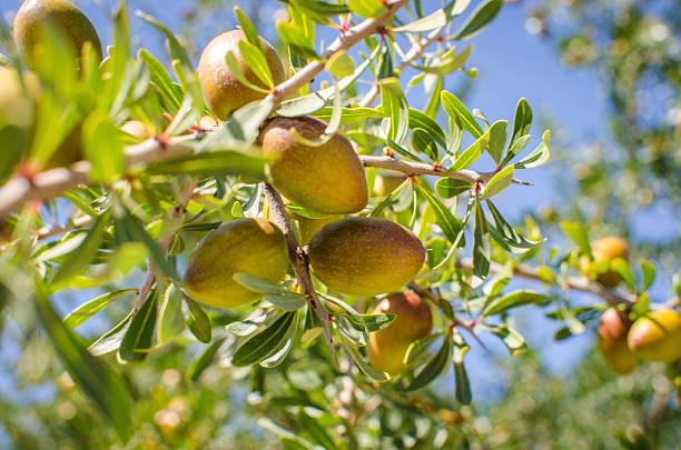 Frutta su Albero di Argan - foto stock