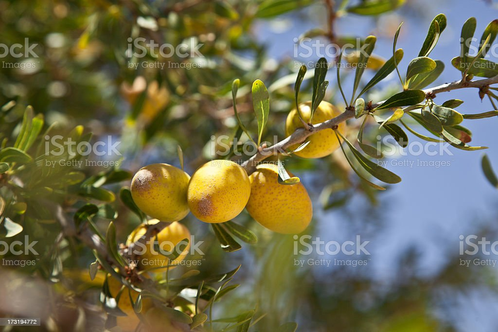 Argan stock photo